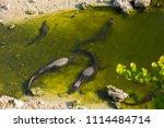 swamp and grass of everglades... | Shutterstock . vector #1114484714