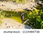 swamp and grass of everglades... | Shutterstock . vector #1114484738