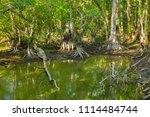 swamp and grass of everglades... | Shutterstock . vector #1114484744