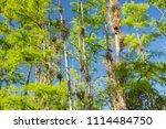 swamp and grass of everglades... | Shutterstock . vector #1114484750