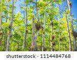 swamp and grass of everglades... | Shutterstock . vector #1114484768