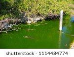 swamp and grass of everglades... | Shutterstock . vector #1114484774