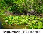 swamp and grass of everglades... | Shutterstock . vector #1114484780