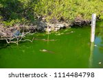 swamp and grass of everglades... | Shutterstock . vector #1114484798