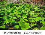 swamp and grass of everglades... | Shutterstock . vector #1114484804
