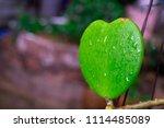 dependency of sweetheart hoya... | Shutterstock . vector #1114485089