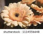 light yellow  beige gerbera... | Shutterstock . vector #1114556648