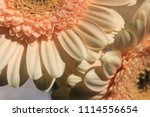 light yellow  beige gerbera... | Shutterstock . vector #1114556654
