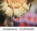 light yellow  beige gerbera... | Shutterstock . vector #1114556660