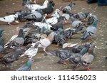 Rock Pigeon   Columba Livia.