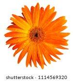 orange gerbera daisy flower... | Shutterstock . vector #1114569320