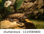 baby couple alligators.... | Shutterstock . vector #1114584800