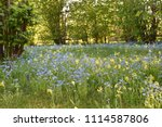 colorful growing summer flowers ... | Shutterstock . vector #1114587806