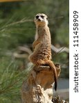 meerkat sitting up on a rock | Shutterstock . vector #111458909
