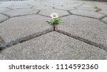 single chamomile breaking... | Shutterstock . vector #1114592360