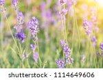 lavender violet flowers on... | Shutterstock . vector #1114649606