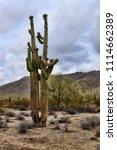 saguaro cactus cereus giganteus ... | Shutterstock . vector #1114662389