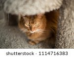 red somali cat looking out with ... | Shutterstock . vector #1114716383