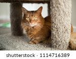 red somali cat looking out with ... | Shutterstock . vector #1114716389