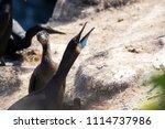 Cormorant Parent And Chick...