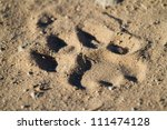 A fresh lion track in the sand - stock photo