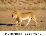 A young male lion walking in golden light in the Kalahari Desert - stock photo