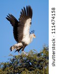 An adult secretary bird flapping its wings at the top of a tree - stock photo