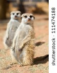 Two meerkats sitting in the sun - stock photo