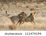 Two young adult lions play-fighting in the Kalahari Desert - stock photo