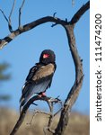 An adult bateleur sitting in a dead tree in the Kgalagadi Transfrontier Park - stock photo