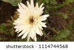 pale yellow gerbera flower | Shutterstock . vector #1114744568