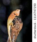 orange lizard resting on a limb. | Shutterstock . vector #1114747250