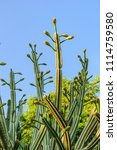 huge cactus with flower buds on ... | Shutterstock . vector #1114759580
