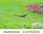 varanus lizard in the... | Shutterstock . vector #1114762010