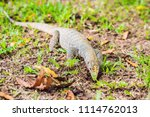 varanus lizard in the... | Shutterstock . vector #1114762013