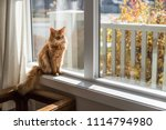 somali cat sitting in a sunny ... | Shutterstock . vector #1114794980