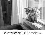 somali cat sitting in a sunny ... | Shutterstock . vector #1114794989