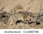 An African wild cat hunting between dead logs in the Kalahari - stock photo
