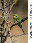 A brightly colored swallow-tailed bee-eater sitting in a tree - stock photo