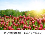 field of flowering crimson... | Shutterstock . vector #1114874180