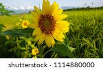 yellow color sunflower with... | Shutterstock . vector #1114880000