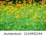 field of yellow cosmos...   Shutterstock . vector #1114902194