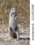 A ground squirrel standing upright - stock photo