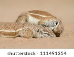 one affectionate ground squirrel grooms another one - stock photo