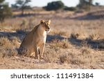An old lioness surveys the area in the Kalahari Desert - stock photo