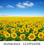 Sunflowers Field On Sky...