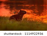capybara in the lake water with ...   Shutterstock . vector #1114922936