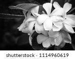 white plumeria  frangipani...   Shutterstock . vector #1114960619