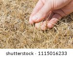 man's hand showing the dried... | Shutterstock . vector #1115016233