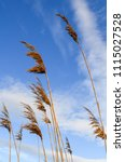 common reed plant. view from... | Shutterstock . vector #1115027528
